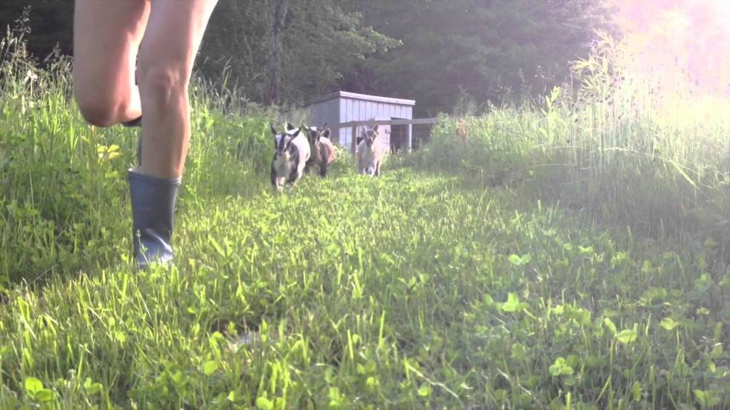 44 Baby Goats Go For a Number of Evening Runs Around the Farm