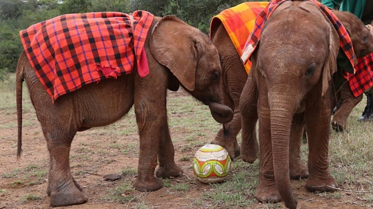 Orphaned Baby Elephants Learn How To Play Soccer At Orphanage in Nairobi
