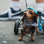 Anderson Pooper the Disabled Dachshund Competes In Annual Weiner Dog Race