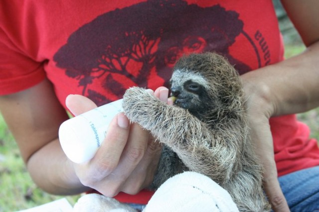 Baby Sloth Eating