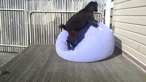 Goat Tries to Sit on Inflatable Chair
