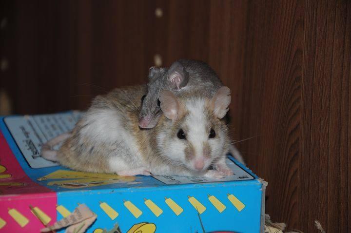 Grimaldi the Mouse