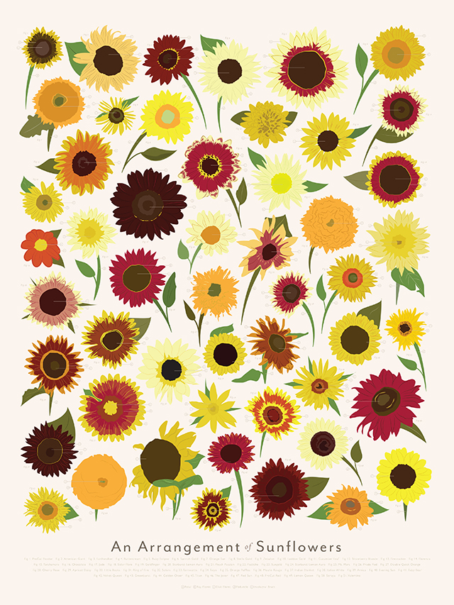 An Arrangement of Sunflowers