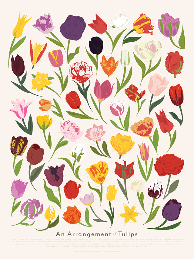 An Arrangement of Tulips