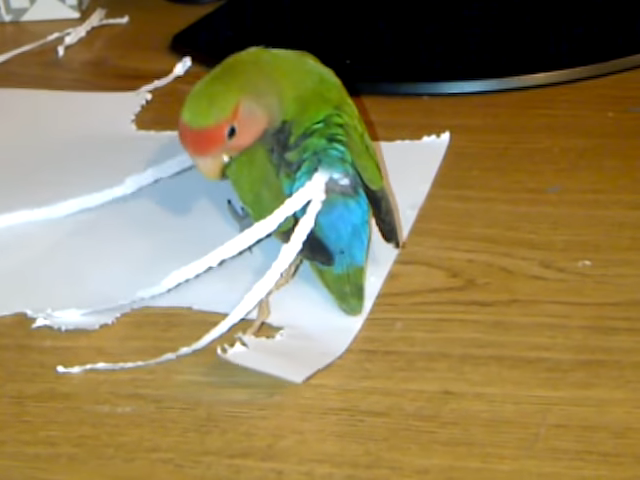Clever Lovebird Tears Long Strips of Paper to Create Feathers to Attach to Her Short-Tailed Backside