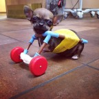Chihuahua Puppy with Missing Front Legs Gets Around Using Handmade Wheelchair Made Out of Toy Parts