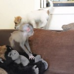 Abandoned Baby Drill Monkey Makes a Family With Her Keeper's Two  Jack Russell Terrier Puppies