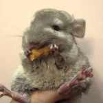 Adorable Chinchilla Nibbles Happily on a Piece of Dried Apple