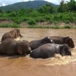 Bathing Elephants Form Living Shield to Protect Baby Elephant From Strong River Current