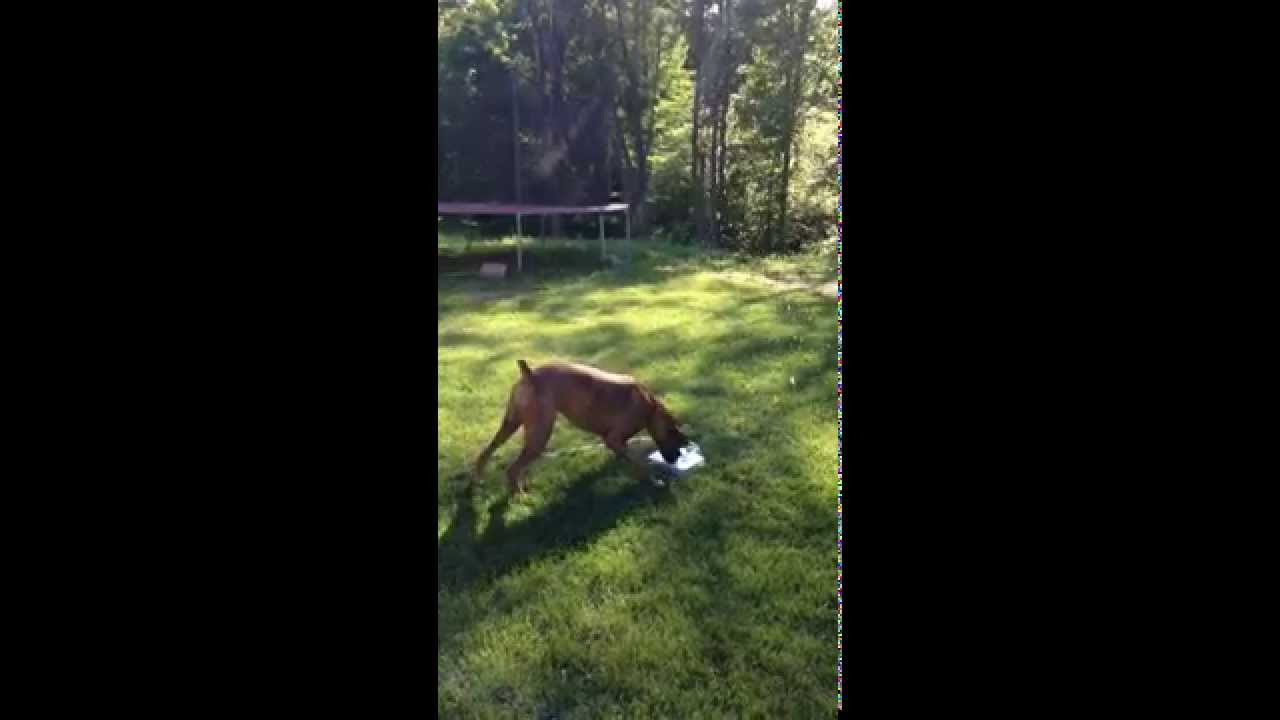 Boxer Puppy Happily Discovers That She Has Full Control Over Her New Water Fountain