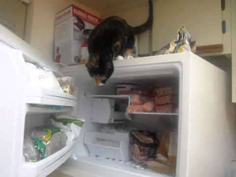 Clever Calico Cat with a Fascination for Refrigeration Opens Freezer to Grab Wrapped Fish Filets