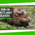 SciShow Explains How and Why Beavers Build Dams