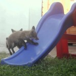 Two Playful Baby Foxes Attempt to Race Each Other Up a Plastic Playground Slide