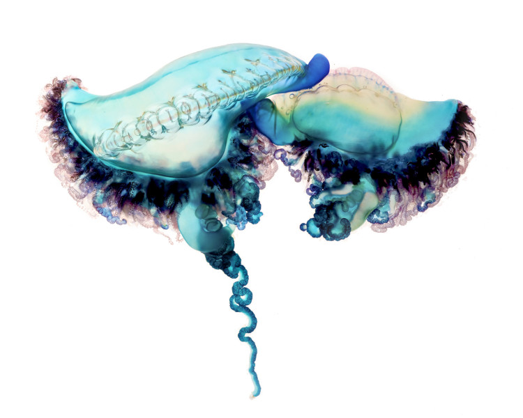 Photos and Video of the Highly Venomous Portuguese Man-of-War