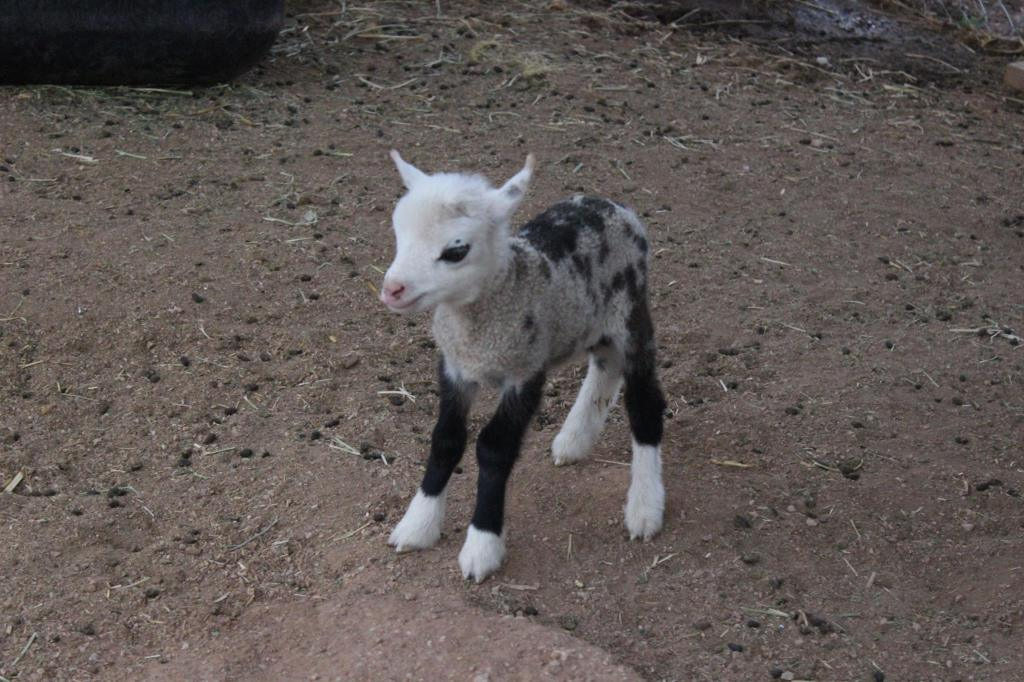 Butterfly the 'Geep', The Incredibly Rare but Adorable Offspring of a Pygmy Goat and a Sheep