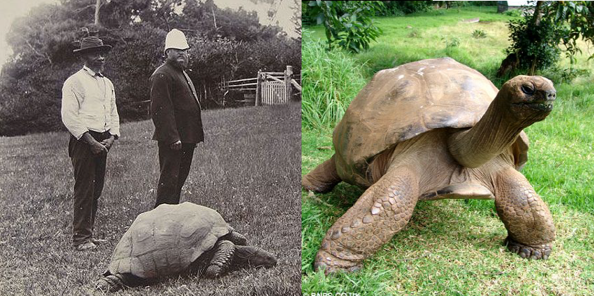 Giant Tortoises of Saint Helena and Prison Islands Among the Oldest Known Living Animals in the World