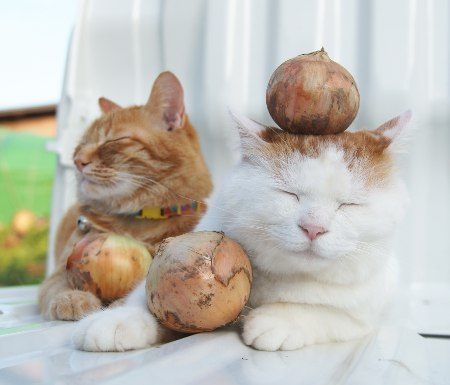 Kitties and Onions