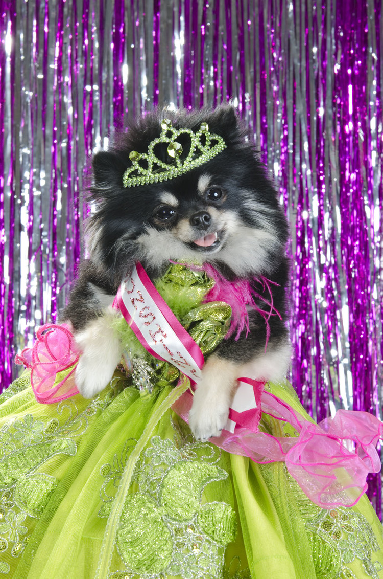 'Dog Pageant', Portrait Series by Sophie Gamand That Features Dogs All Dressed Up for a Lavish 2013 Dog Pageant