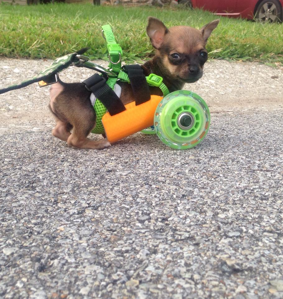 Chihuahua Puppy with Missing Front Legs Receives a 3D Printed Wheeled Cart From Generous Designer