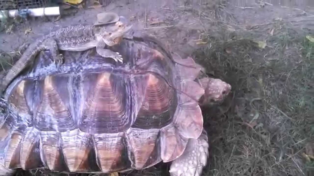 Bearded Lizard In Cowboy Hat Rides Sulcata Tortoise Like A Horse at Illinois Pet Sanctuary