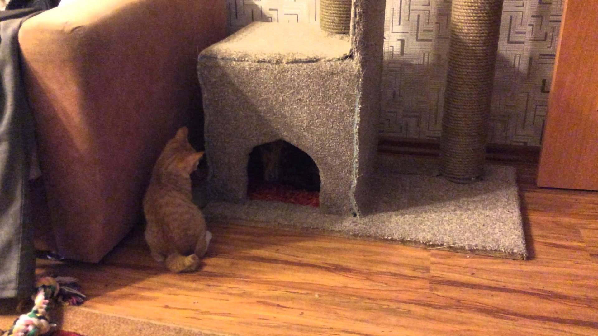 Determined Kitten Stakes Claim to His Kitty Condo When a Persistent Dachshund Repeatedly Takes Up Residence