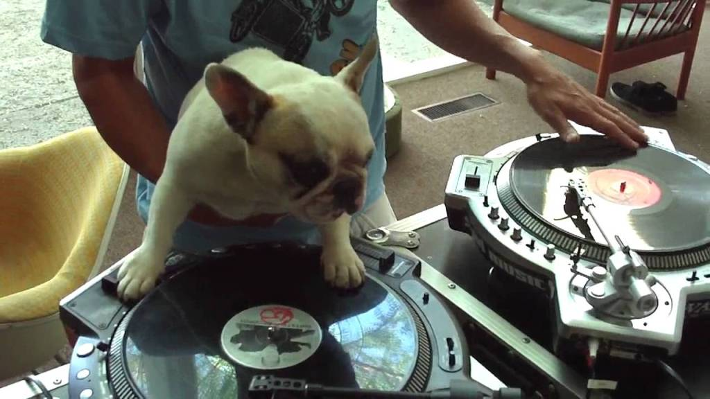 DJ Mama the French Bulldog Scratches a Record Alongside Her Turntablist Human
