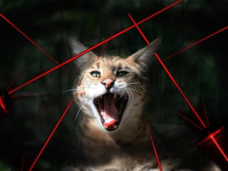 Do Big Cats Like To Chase Laser Pointers?