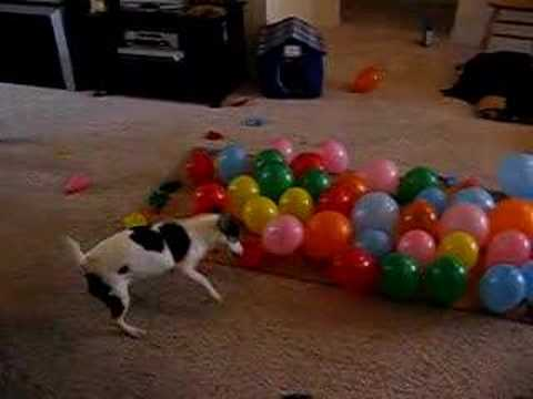 Dog vs. Balloons, Popping 74 Balloons in 57 Seconds