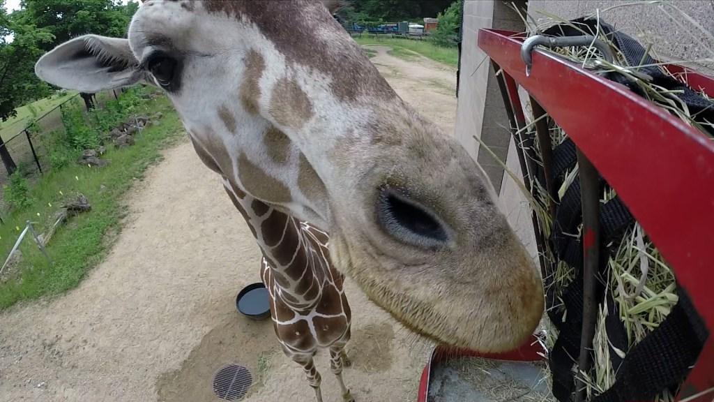 Giraffe Knocks Down Reporter's Hidden Camera at Minnesota Zoo