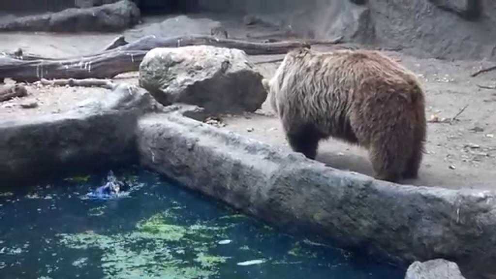 Hungry Bear Grudgingly Rescues Drowning Crow Before He Goes Back to His Lunch