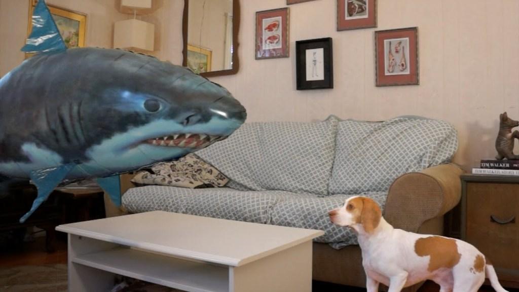 Inspired by  'Shark Week' and 'Sharknado 2', Maymo the Beagle Attacks a Remote-Controlled Flying Shark