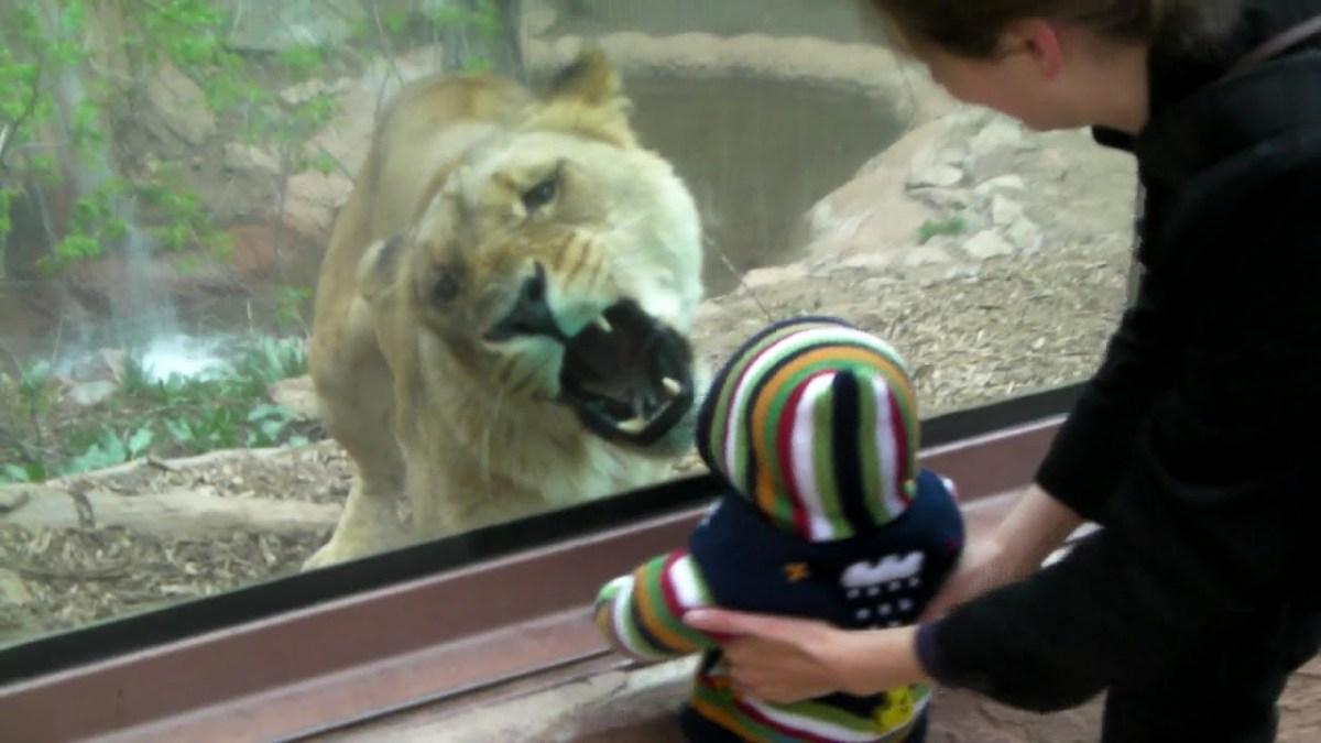 Lion Zebra Baby Lion Tries to Eat Baby Boy