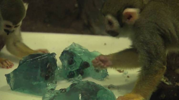 Squirrel Monkeys Eating JELL-O at the Bronx Zoo
