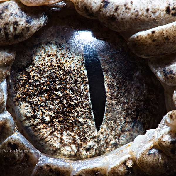 Extreme Close-Up Photos of Animal Eyes by Suren Manvelyan