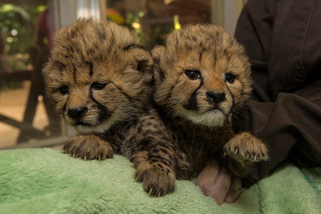 The San Diego Zoo Welcomes Baby Cheetah Ambassadors Into the World