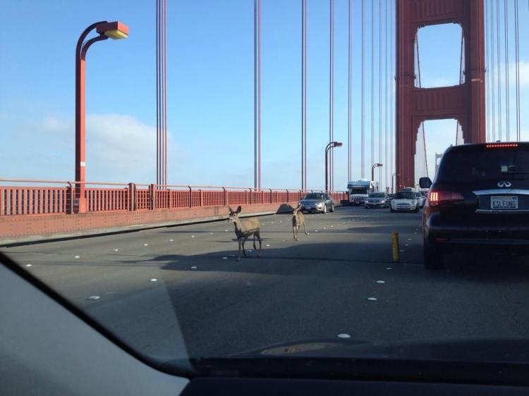 Two Deer Wander on to Golden Gate Bridge
