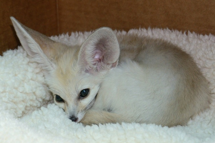 A Playful Baby Fennec Fox Romps Excitedly Around His Home