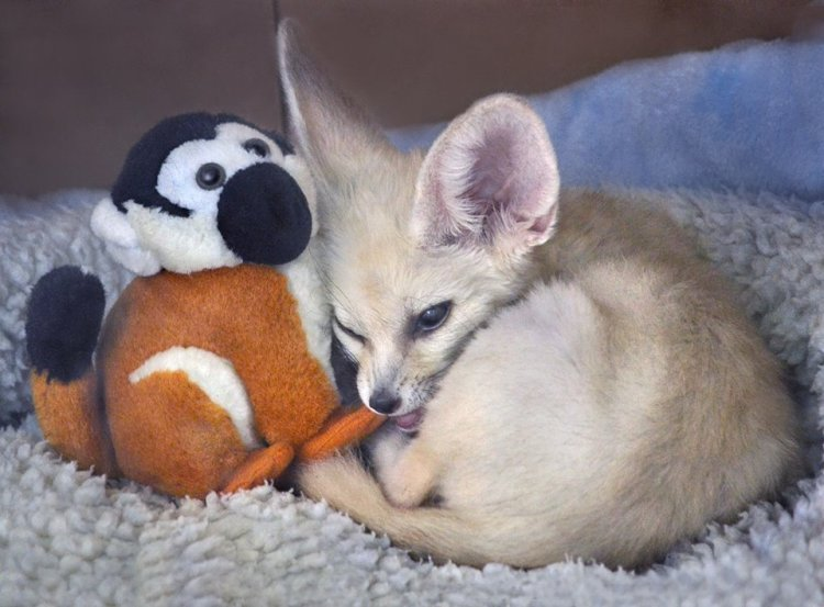 Fennec Fox and Friend