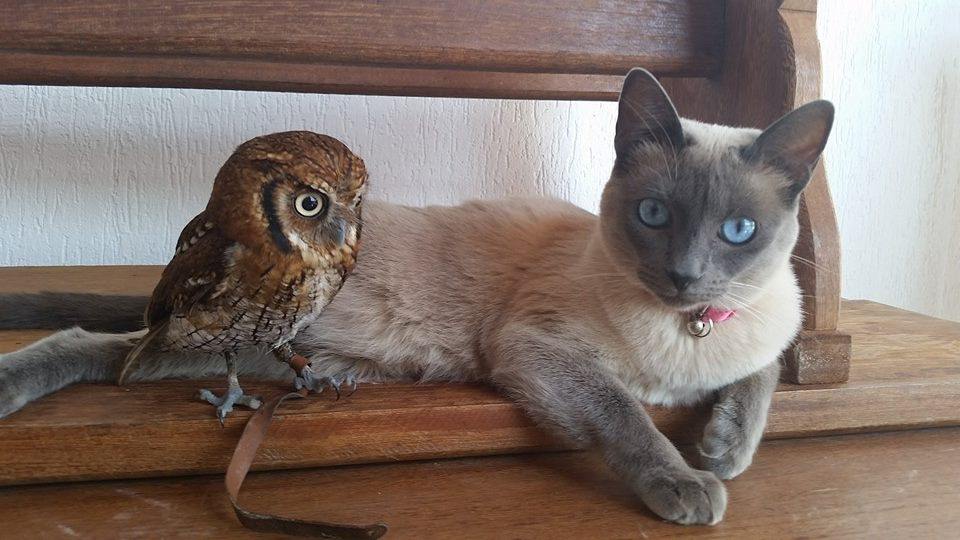 Siamese Cat and Little Owl Are the Closest of Friends