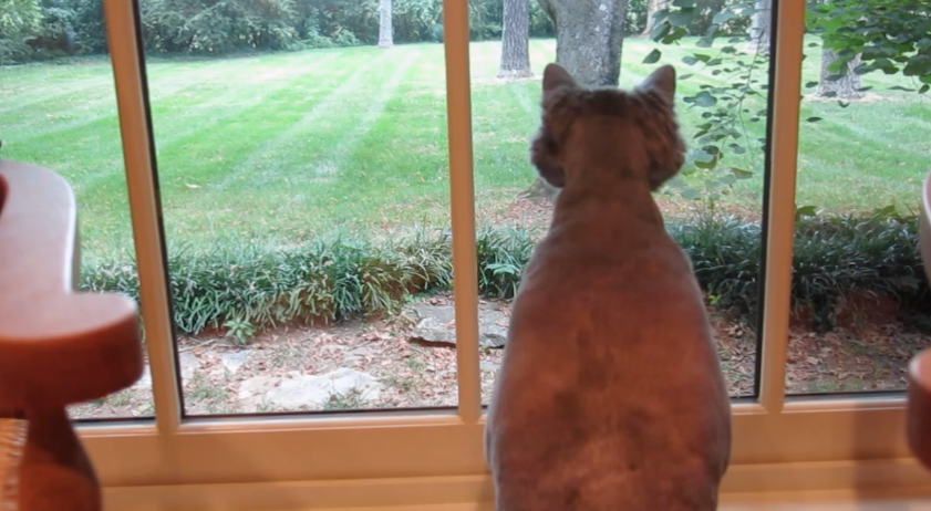 King Leo Looking Outside