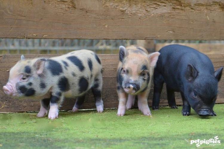 Triplet Piglets