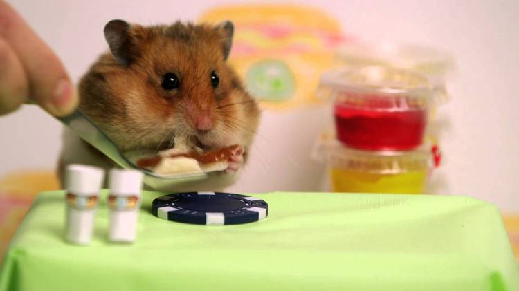 Hamster Hot Dog Eating Contest Video
