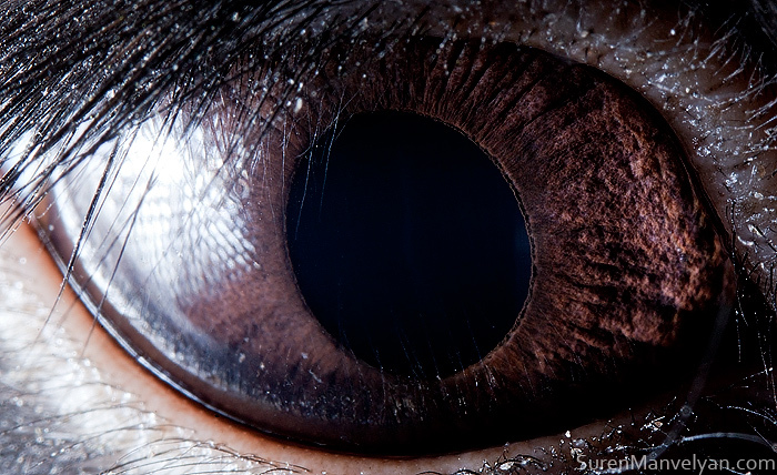 Extreme Close-Up Photos of Animal Eyes by Suren Manvelyan