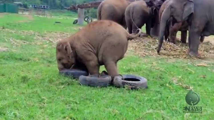 Baby Elephants Awkwardly Play with Tire Toys That Were Set Out to Keep Them Occupied
