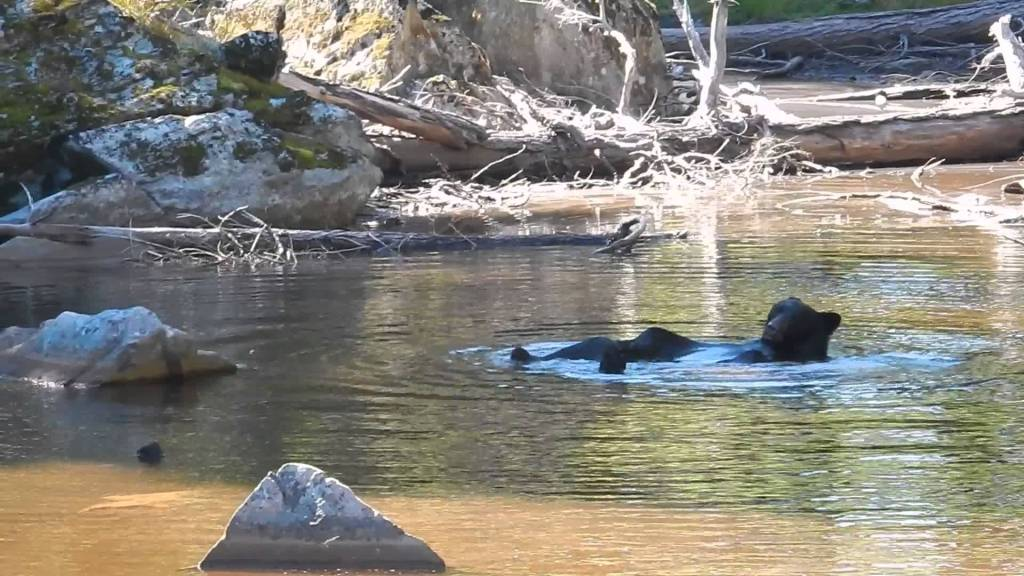 Black Bear Takes Relaxing Bath in a Pond Before Eating a Lunch of Foraged Berries in the Olympic Mountain Park