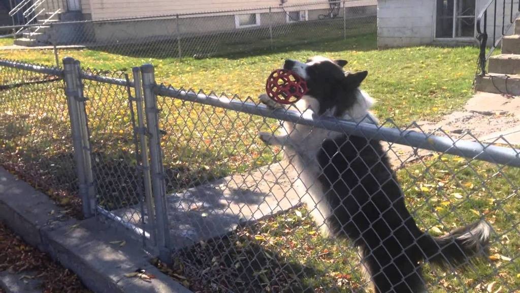 Border Collie Behind Chain Link Fence Insists on Playing Fetch With a Man on the Other Side