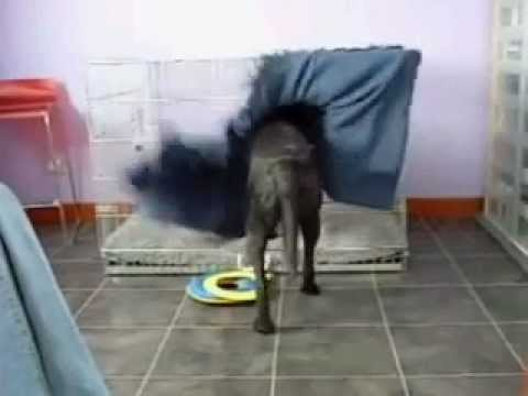 Clever Dog Performs Ingenious Routine to Create a Comfy Bed for HImself