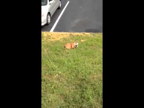 Daring English Bulldog Puppy Rolls Himself Down a Grassy Hill Just For the Fun of It