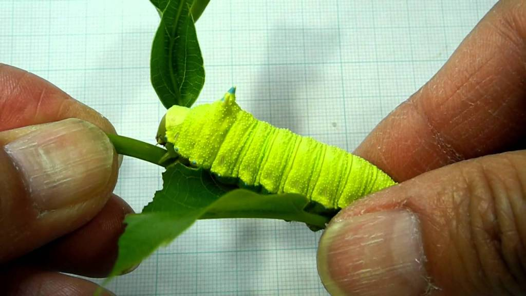 Giant Green Caterpillar Squeaks Adorably When Gently Touched By a Human