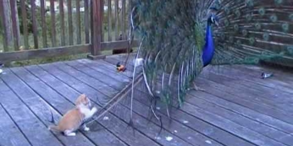 Mischievous Kitten Plays With the Feathers of a Peacock in Full Plumage Display